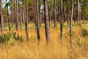 Tall Pines, Palmettos and Tall Golden Grass