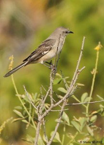 A Mockingbird searching for bugs