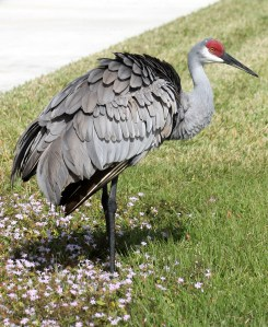 A pretty Sandhill Crane