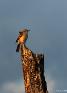 Northern Mockingbird - an easy photo subject