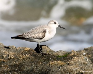 Sanderling scouting out a snack