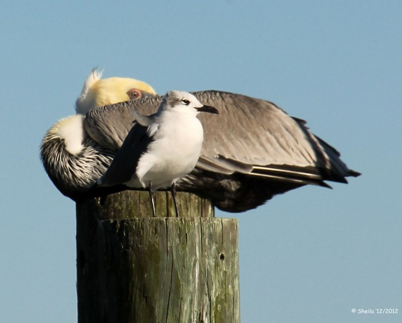 Brown Pelican & a Laughing Gull