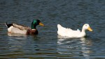 A Mallard pair. Female must be Albino!