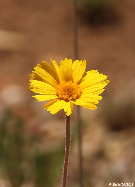 New Mexico Dessert Sunflower Flower