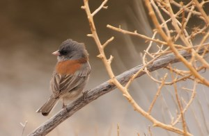 Dark-eyed Junco ~Gray-headed~ This photo was taken a few weeks back as we were traveling through New Mexico.