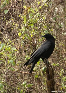 Black Bird - Crow or Raven