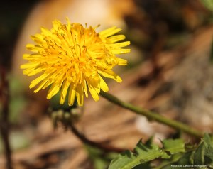 Pretty little Dandelion