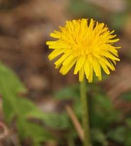 A Lovely Dandelion