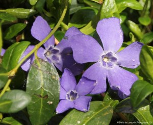 Pretty Periwinkle