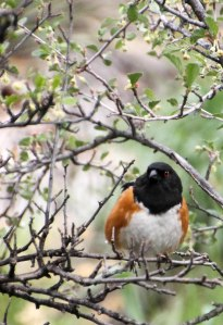 ~ Spotted Towhee ~ a nesting pair in my yard