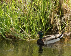 ~ Male Mallard watching over a nest ~ He kept swimming back and forth never going far from, I am guessing, a nest.