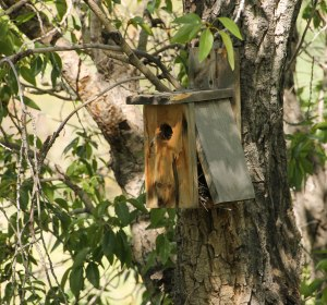 ~ A full Nesting Box ~ Note the feather hanging out the front