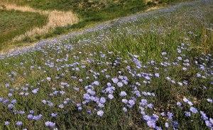 ~ A Field of Flax ~