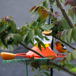 Bullock's Oriole ~Enjoying its new feeding station~
