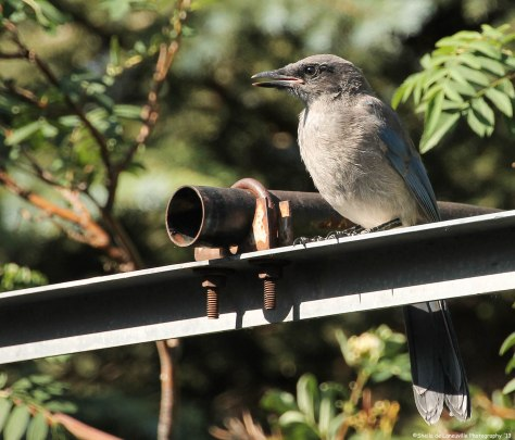 Baby - Western Scrub-Jay Not the best place to land, but he/she is still just a baby.