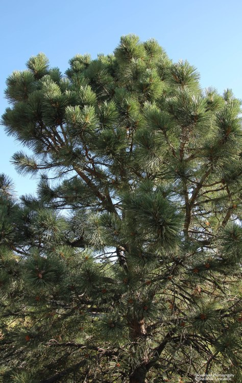 My beautiful Ponderosa Pine