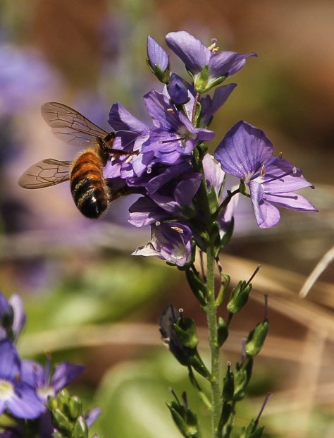 Honey Bees love Speedwell Flowers