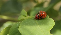 Romantic Lady Bugs in the mood