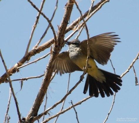 Western Kingbird - after a bug.