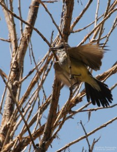 Western Kingbird - its too hot!