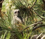 Baby Scrub Number Two (hiding in a Pine)