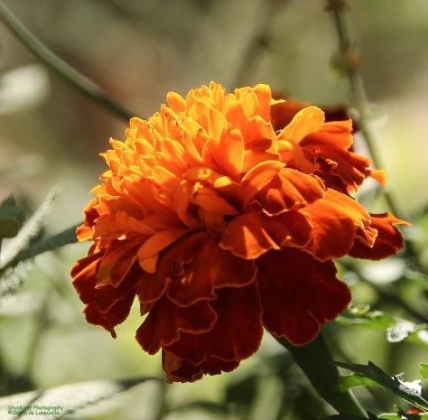 Sunlit Marigold