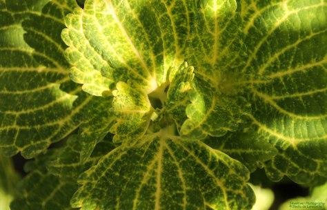 Shades of Green and Gold Coleus Flower