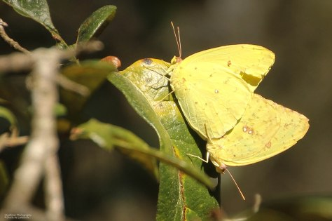 Clouded Sulphur Butterflies-Mating (photo taken 01/2013 in Lake Louisa State Park)