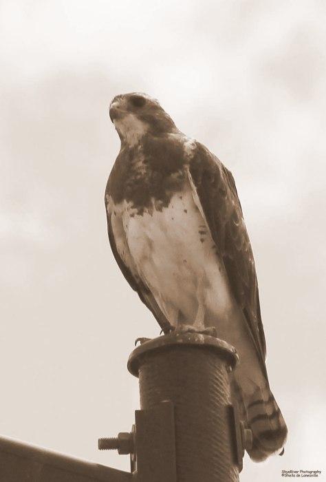 ~Sepia~  Swainson's Hawk