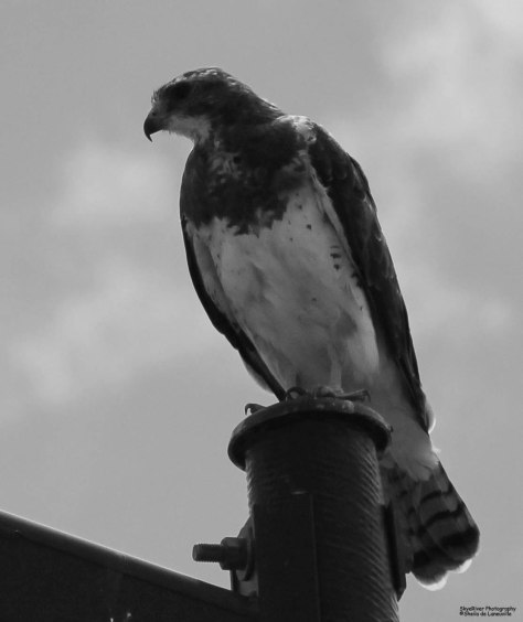 Swainson's Hawk in Black and White