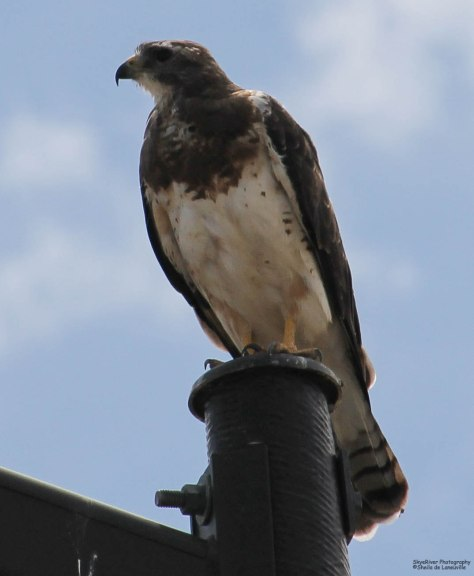 Swainson's Hawk (light morph)