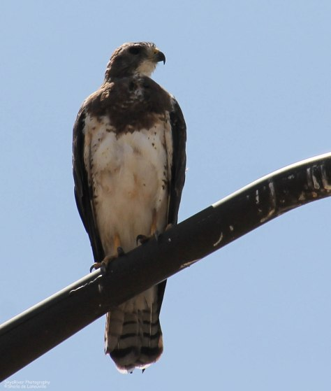 Swainson's Hawk (light morph) ~Looking right~