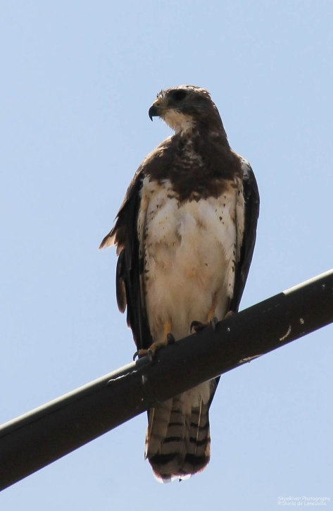 Swainson's Hawk (light morph) ~Looking Left~