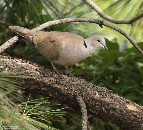 Eurasian Collared-Dove (female)