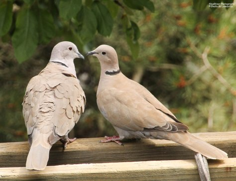 Eurasian Collared-Dove (pair)