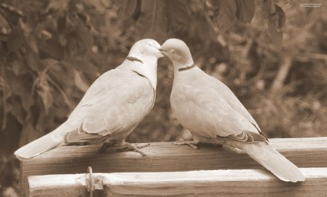 Eurasian Collared-Dove (pair kissing)