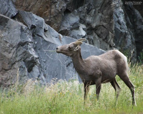 Rocky Mountain bighorn sheep (ewe)