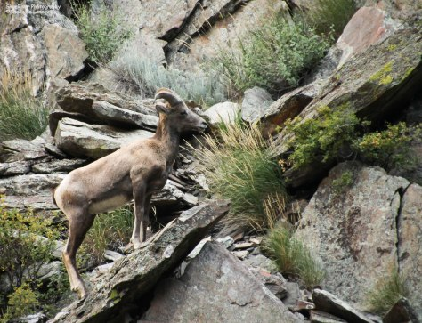 Rocky Mountain bighorn sheep climbing the cliffs in the Big Thompson Canyon