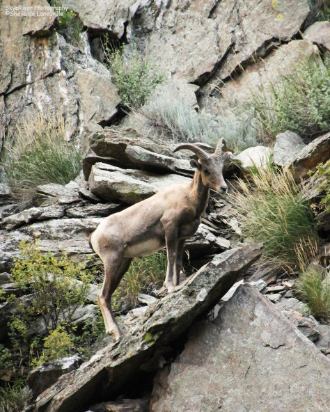Pretty Face - Rocky Mountain bighorn sheep climbing the cliffs in the Big Thompson Canyon