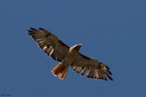 Red-tailed Hawk (western rufous morph)