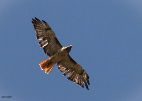 Red-tailed Hawk (rufous morph)