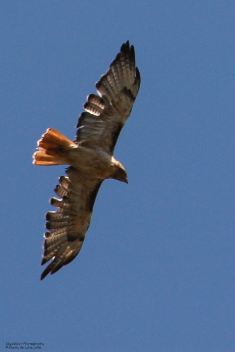 Magnificent red tail!