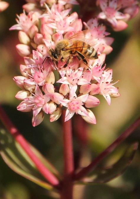 Honey Bee and Autumn Joy