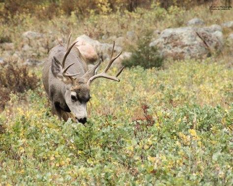 Mule Deer (male)