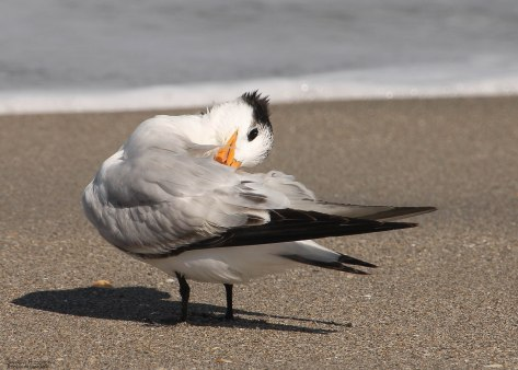"""I'll try to keep my head on straight!"" (photo taken on the beach Hobe Sound, FL)"