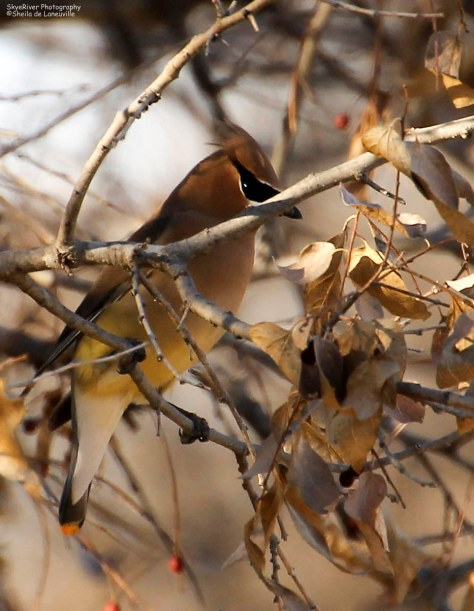 Berries and a shy Cedar Waxwing