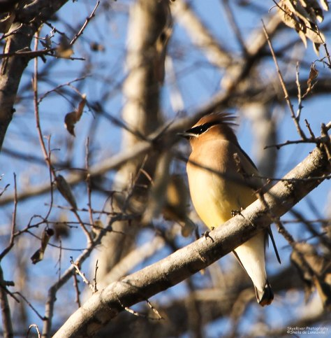 Cedar Waxwing [Hmm, taking a break]