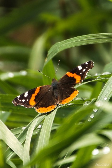 Red Admiral (1)