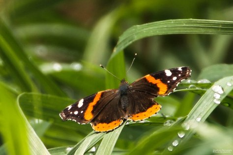 Red Admiral (2)