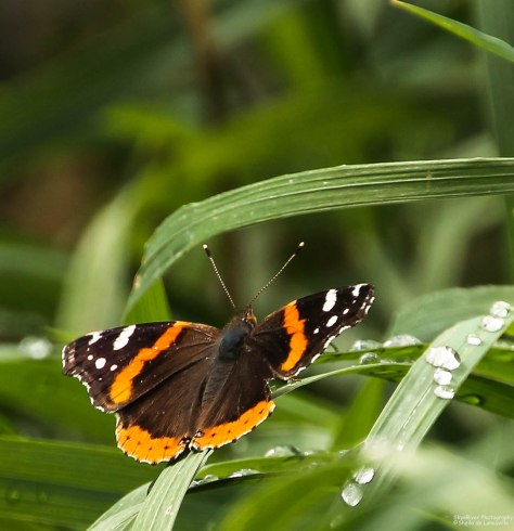 Red Admiral (3)